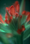 San Juan Islands; wildflowers; Indian paintbrush, Catilleja affinis, Yellow Island, Nature Conservancy Preserve; Washington State, Pacific Northwest, U.S.A.,.
