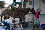 DEL MAR,CA-AUGUST 19: California Chrome is taking a bath at Del Mar Race Track on August 19,2016 in Del Mar,California (Photo by Kaz Ishida/Eclipse Sportswire/Getty Images)