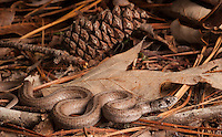 Midland Brown Snake - Storeria dekayi wrightorum - A small forest-dwelling, worm and slug eater.
