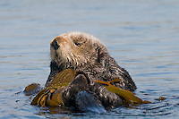 Southern Sea Otter (Enhydra lutris nereis) resting in kelp.  Central California Coast.  Being wrapped in kelp helps keep the otter from drifting away with the tide/current/wind while resting.