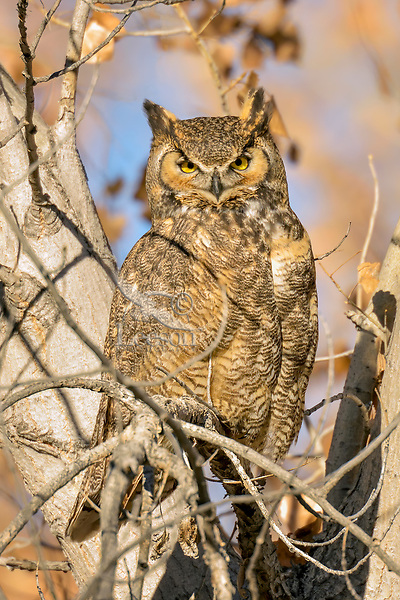 Great horned owl (Bubo virginianus) resting in cottonwood tree.  Utah.  Fall.