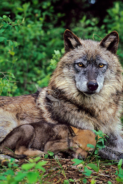 Gray Wolf (Canis lupus) moth with young pup.