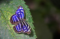 Royal Blue Butterfly (Myscelia cyaniris). Portland Oregon Zoo