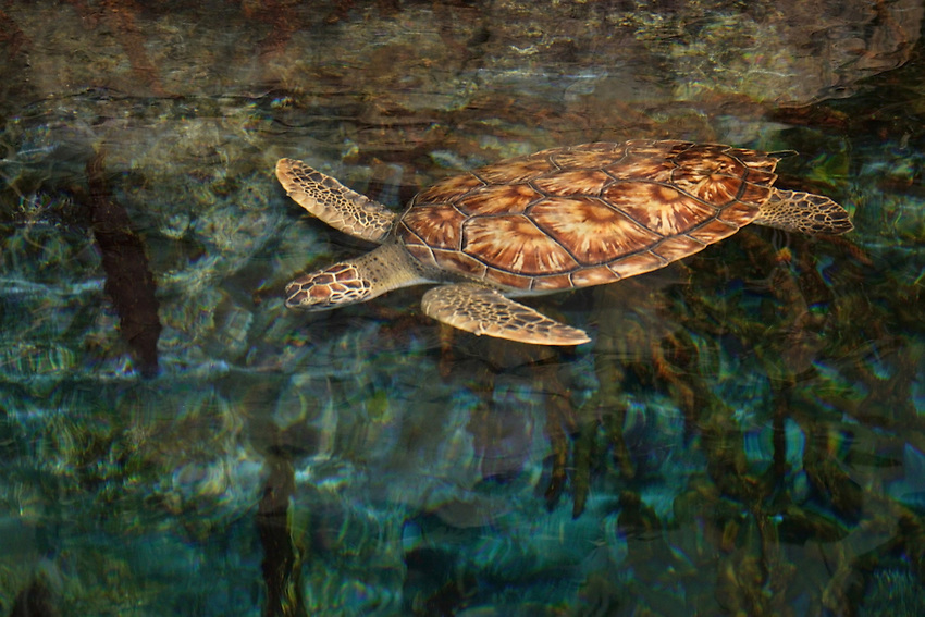 The Green Sea Turtle, Chelonia mydas, is the largest hard-shelled sea turtle in the world. It ranges in length from 2 to 6 feet with males averaging a little larger than females. They can weigh up to 600 pounds.