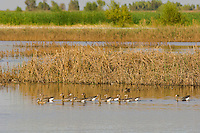Greater White-fronted Geese (Anser albifrons) with a couple ducks using marsh habitat.  Western U.S., fall.
