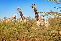 giraffe, Giraffa camelopardalis, Chobe National Park, Botswana, Africa