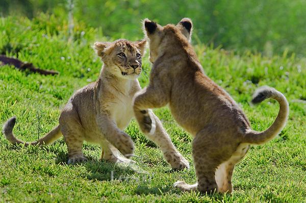 Playful African Lion (Panthera leo) cubs.