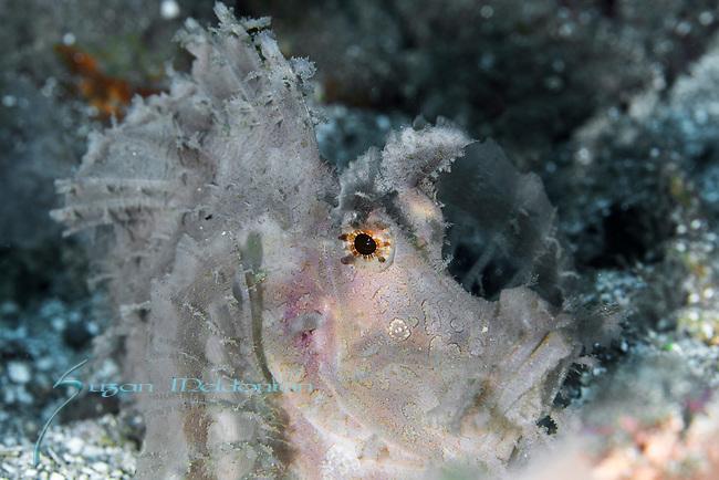 Rhinopia frondosa, Weedy Scorpionfish, Whitish, Ambon