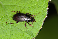 Prächtiger Kanalkäfer, Glänzender Kanalkäfer, Laufkäfer, Amara aulica, Curtonotus aulica, magnificent sun beetle