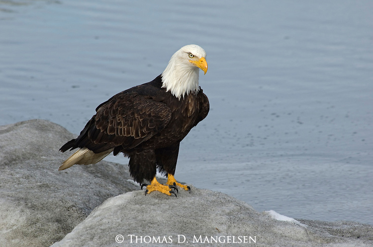 A bald eagle stands on a pile of snow in Homer, Alaska.