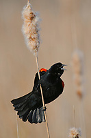 Adult male Red-winged Blackbird (Agelaius phoeniceus) singing form a cattail. Tompkins County, New York. May.