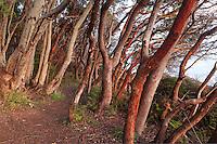 Trail through grove of Pacific Madrone, Lime Kiln Point State Park, San Juan Island, Washington, USA