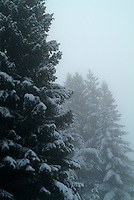 Snow-covered fir trees in the midst of fog, French Alps, France.