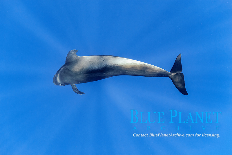 Short-finned pilot whale (Globicephala macrorhynchus) swimming below surface. South Tenerife, Canary Islands, Atlantic Ocean