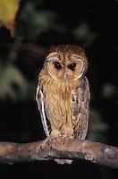 Jamaican Owl, Pseudoscops grammicus, adult at night, Rocklands, Montego Bay, Jamaica, January 2005
