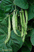 HS30-045x  Bean - pole bean - Northeaster variety