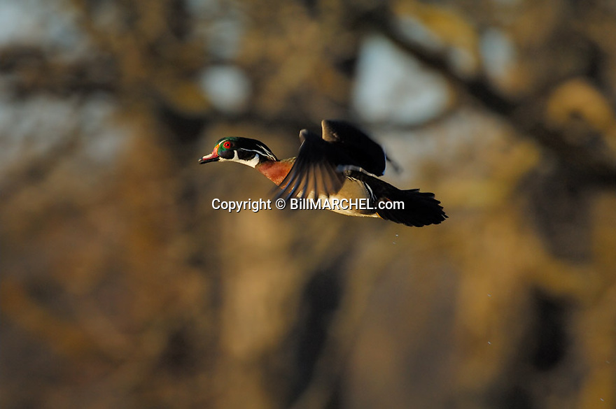 00360-083.05 Wood Duck (DIGITAL) male in flight against tree background.  Action, fly, bird, birding.  H4L1