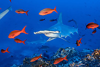 scalloped hammerhead, Sphyrna lewini, and Pacific creolefish, Paranthias colonus, Cocos Island, Costa Rica, Pacific Ocean