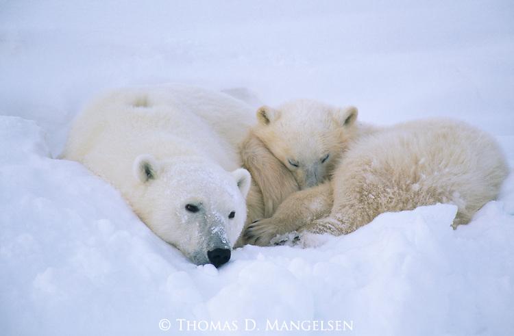 A polar bear and cub lay and sleep in the snow.
