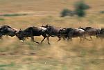A herd of wildebeest run across a plain in Masai Mara, Kenya.