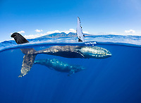 A split image of a pair of humpback whales, Megaptera novaeangliae, underwater in front of the West Maui Mountains just south of Lahaina, Hawaii.