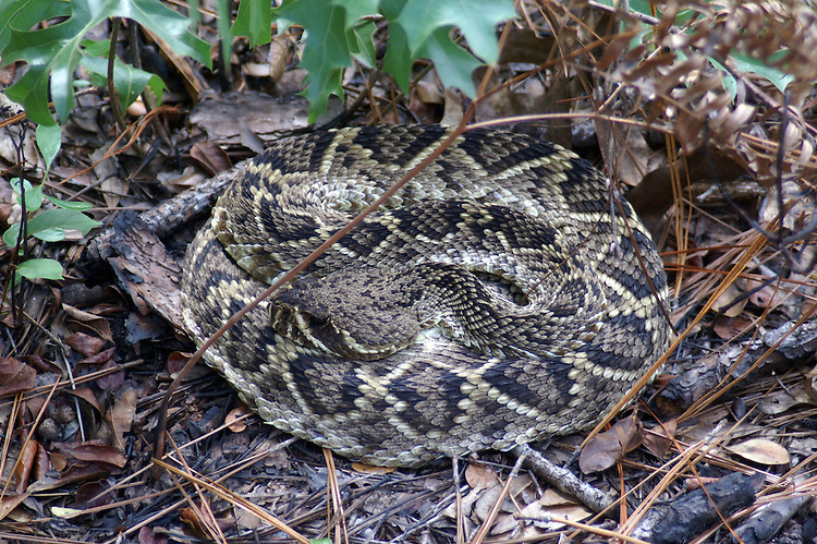This rattlesnake blends into the background very well.