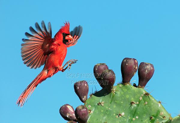 Northern Cardinal (Cardinalis cardinalis), male landing on Texas Prickly Pear Cactus (Opuntia lindheimeri), Dinero, Lake Corpus Christi, South Texas, USA