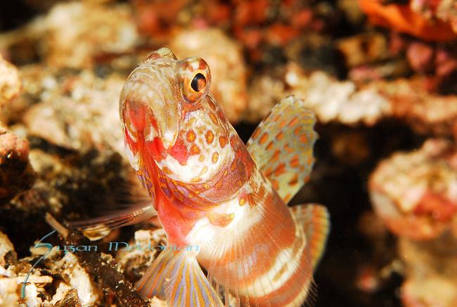 Gorgeous Shrimpgoby, Amblyeleotris wheeleri, Lembeh Straits, Sulawesi Sea, Indonesia, Amazing Underwater Photography