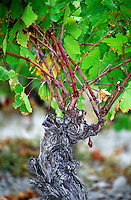 Collioure. Roussillon. Vines trained in Gobelet pruning. Old, gnarled and twisting vine. France. Europe. Vineyard.