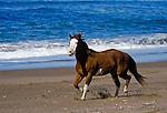 Paint horse running on the beach, Central Coast, California