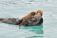 Alaskan or Northern Sea Otter (Enhydra lutris) mom with a very young pup rest in a protected cove along the Alaskan coastline.