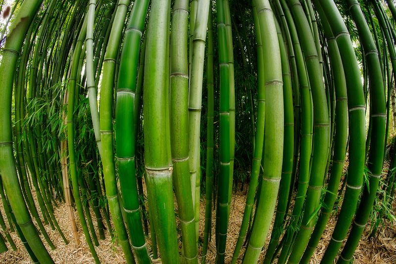 Close up of bamboo. Hughes Water Garden, Oregon
