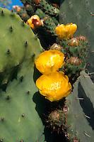 Opuntie (Feigenkaktus), Insel Santorin (Santorini), Griechenland, Europa