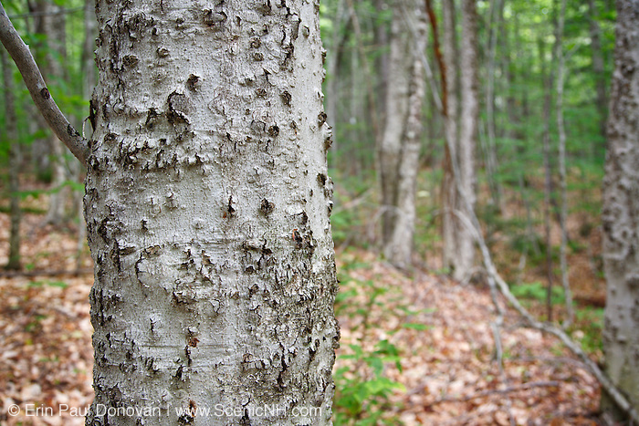 Beech bark disease on American beech tree (fagus grandifolia) in the area of Potash Mountain in the White Mountains, New Hampshire USA