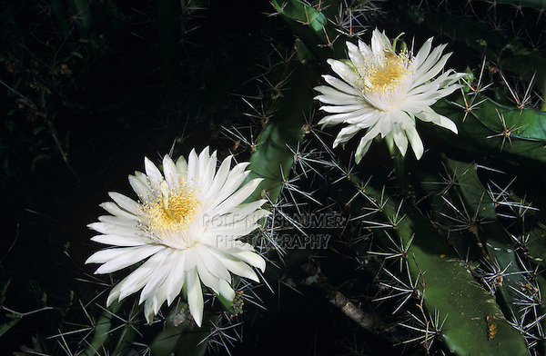 Night-Blooming Cereus, Peniocereus greggii, blossom at night, The Inn at Chachalaca Bend, Cameron County, Rio Grande Valley, Texas, USA, May 2004