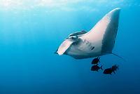 Giant Oceanic Manta Ray, Mobula birostris, formerly Manta birostris, San Benedicto, Revillagigedos Archipelago, Pacific Ocean