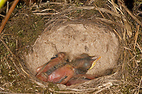 Singdrossel, Sing-Drossel, Sing - Drossel, Küken im Nest, dessen Boden typischerweise mit Lehm ausgekleistert ist, Turdus philomelos, Song Thrush, Grive musicienne