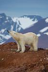 Ours blanc.  Iles Andoyane  dans le Liefdefjorden. Sur les 20000 à 25 000 ours blancs estimes en Arctique, l archipel du Svalbard en abriterait entre 2000 à 3000. Sa chasse est totalement interdite depuis 1976. Meme si son territoire de predilection reste la banquise, on a de fortes chances de le croiser sur la terre ferme, en particulier sur les côtes orientales et septentrionales du Svalbard. .