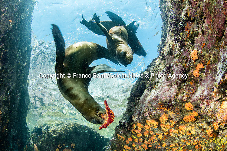 Playful sea lions dive into the water as they frolic around with a brightly-coloured starfish.  The young mammals glide through the shallow water as they play with the marine animal.<br /> <br /> They take turns catching the red starfish in their mouths as they swim just a few metres from the water's surface in the Gulf of California, Mexico.  SEE OUR COPY FOR DETAILS.<br /> <br /> Please byline: Franco Banfi/Solent News<br /> <br /> © Franco Banfi/Solent News & Photo Agency<br /> UK +44 (0) 2380 458800