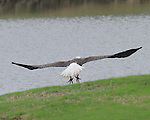 Images of an American Bald Eagle at the English Turn Golf & Country Club in New Orleans, LA.