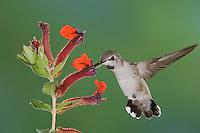 Costa's Hummingbird, Calypte costae, young male in flight feeding on Flower,Tucson, Arizona, USA, September 2006