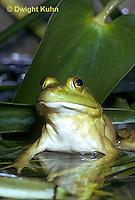 FR01-004z  Bullfrog - adult in pond - Lithobates catesbeiana, formerly Rana catesbeiana