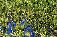 Krebsschere, Wasseraloe, Stratiotes aloides, Water Aloe, Waer Soldier