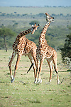 Male Masai Giraffes (Giraffa camelopardalis) in ritual combat. Ol Kinyei Conservancy, Masai Mara Game Reserve, Kenya.