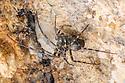 European Cave Spider (Meta menardi) in a limestone cave. Peak District National Park, Derbyshire, UK. August.