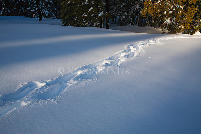 tracks from snow shoes crossing a clearing in the forest in western Montana