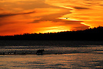 A grizzly bear, Ursus arctos horribilis,wades the the river at sunset in search of salmon in Alaska.