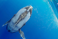 humpback whale, Megaptera novaeangliae, large adult female with parasitic acorn barnacles, Cornula diaderma, Hawaii, USA, Pacific Ocean