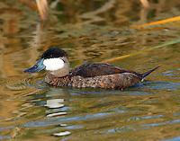 Adult male ruddy duck in non-breeding plumage