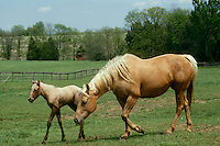 Buckskin foal and mare